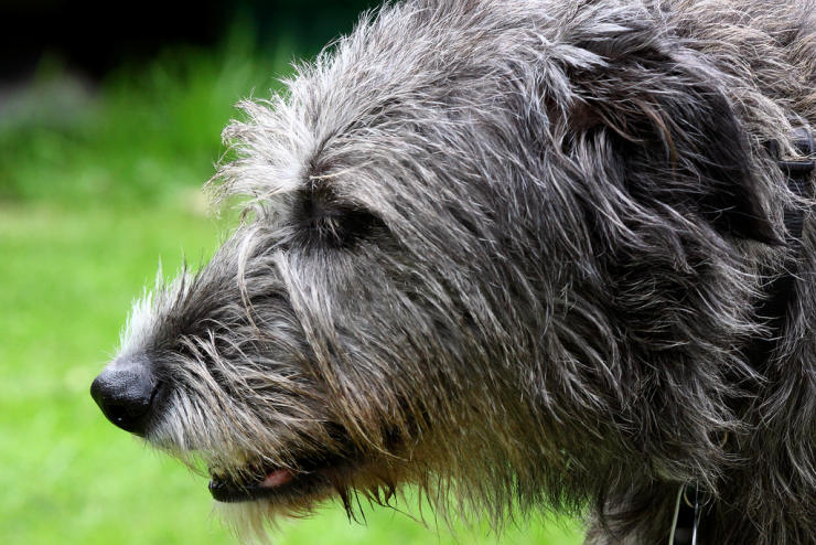 Irish wolfhound head