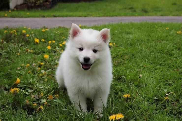 American Eskimo puppy dog