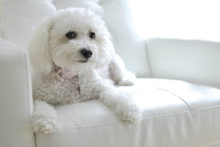 Maltipoo photo