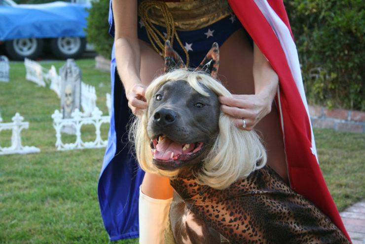 Cane Corso Halloween