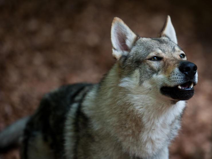 wolfdog_197843