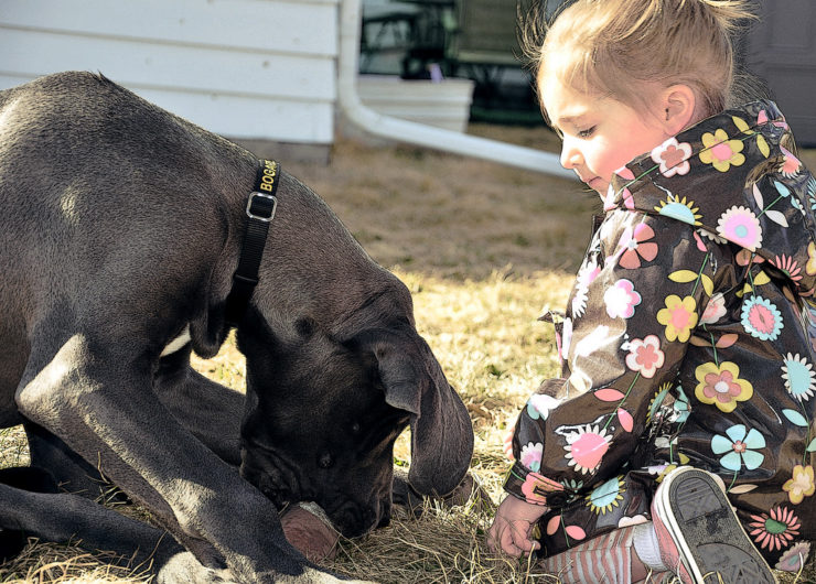 great dane playing in the backyard with a girl