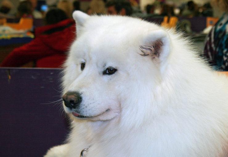 Chow Samoyed Dog Puppy