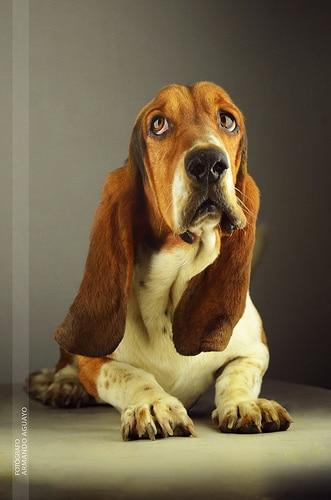 basset hound photo