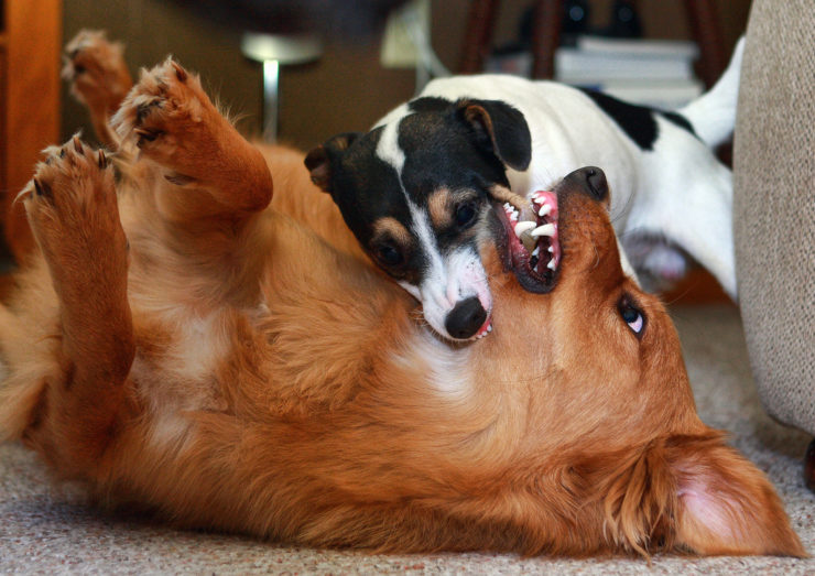dog fight photo
