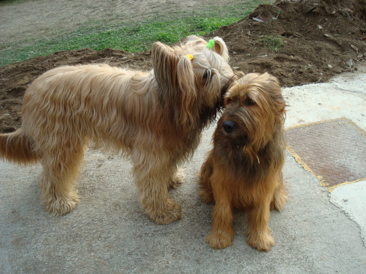Two Briard dogs