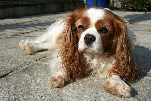 cavalier dog photo