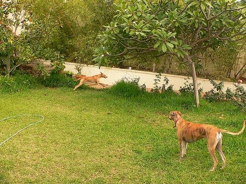 ibizan hound photo