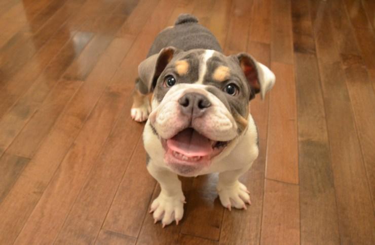 Bulldog Puppy Training photo