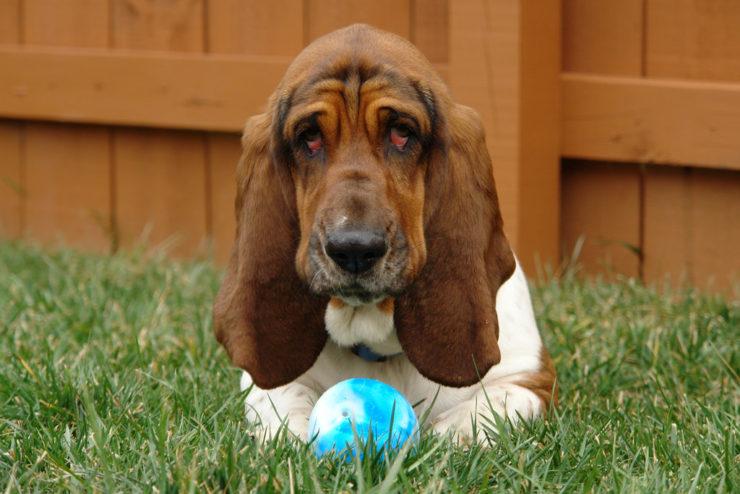 basset hound playing