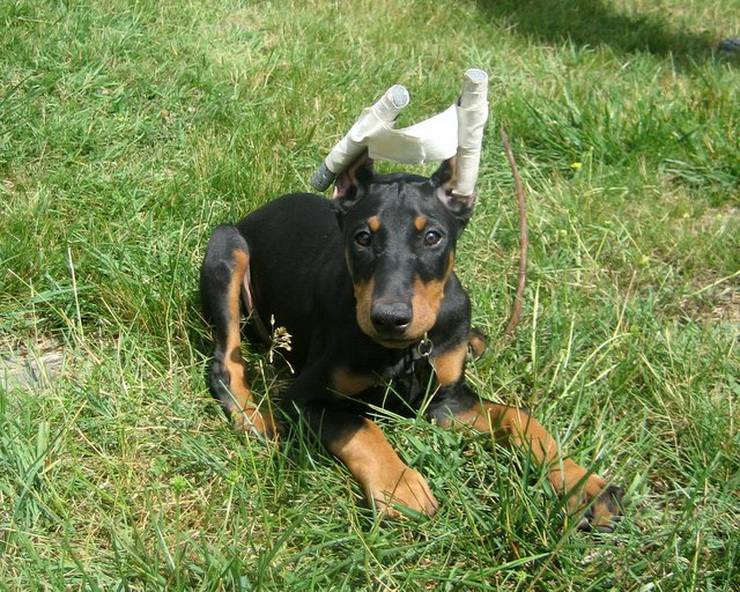 6 month old female doberman weight