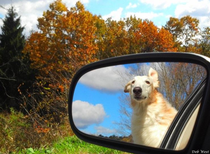 Borzoi in the car