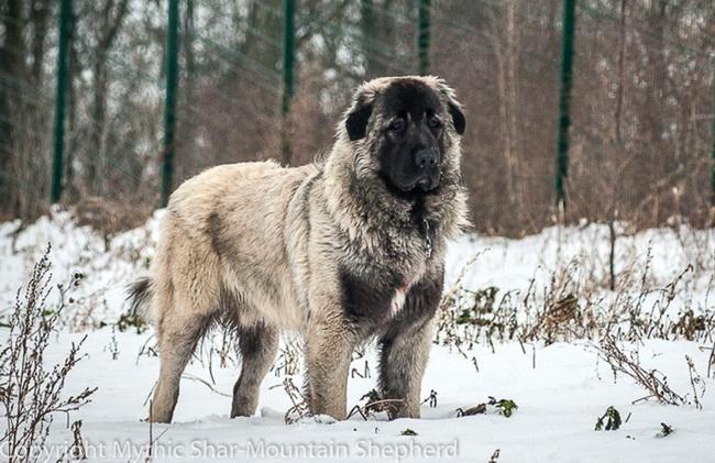 shar mountain shepherd