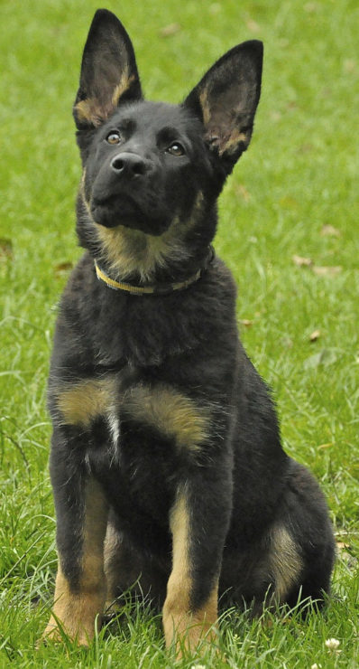 german shepherd puppy listening