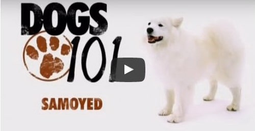 siberian samoyed dog video