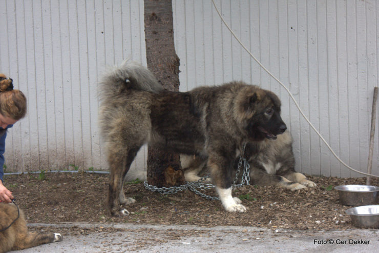 caucasian ovtcharka at dog show