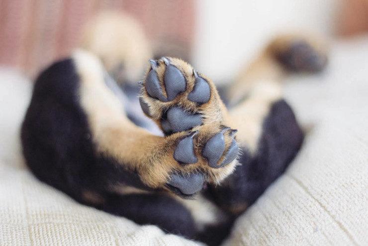 rottweiler puppy paws