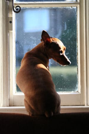 Miniature Pinscher looking