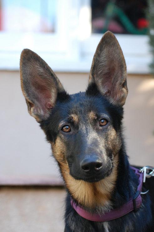 german shepherd puppy with big standing years