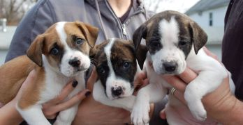 How much can I sell my unregistered pit bull puppies for?