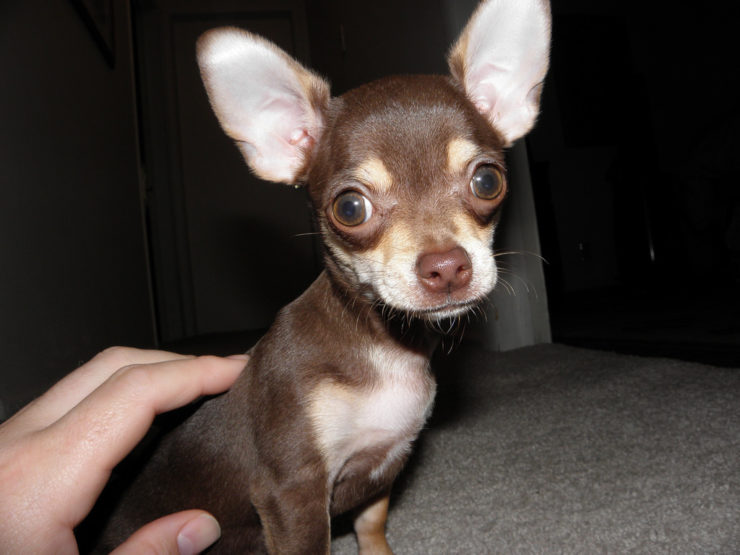 skinny chihuahua