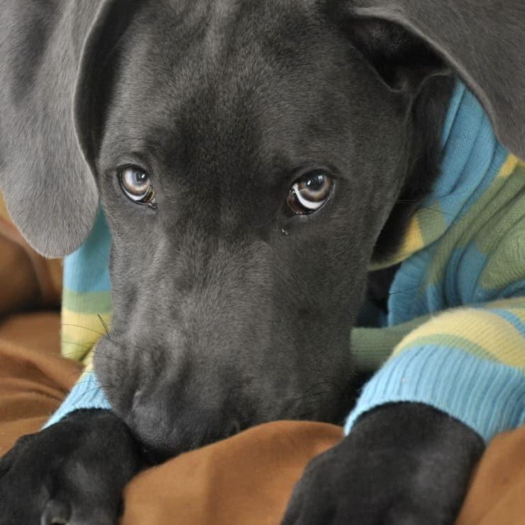 great dane puppy eyes