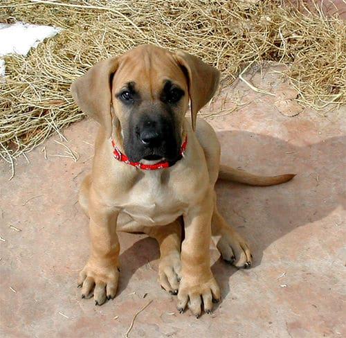 great dane puppy photo