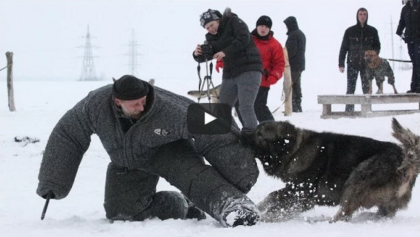 caucasian mountain dog attack