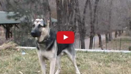 east european shepherd training video