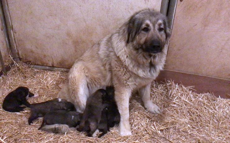 caucasian shepherd female with puppies california