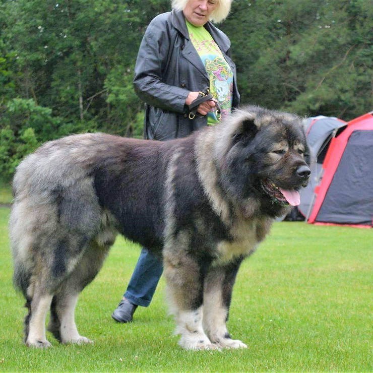 Type Of Food For A Caucasian Shepherd Dog