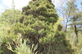 Pilgerodendron uviferum