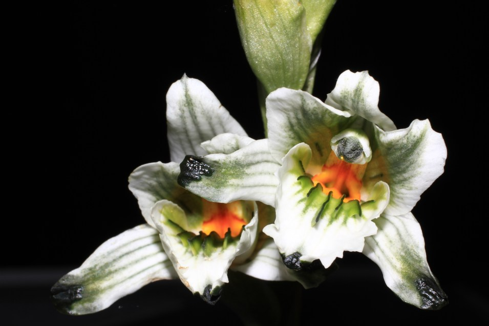 Chloraea bletioides Lindl