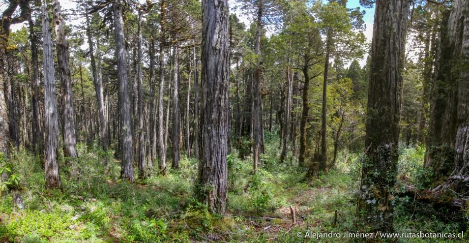 Interior del bosque de alerce