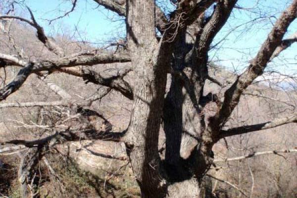 Arboles singulares en Extremadura