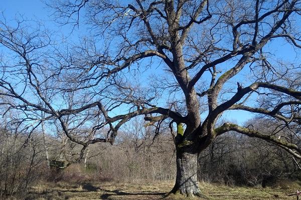 Gran roble en el Bosque de Orgi