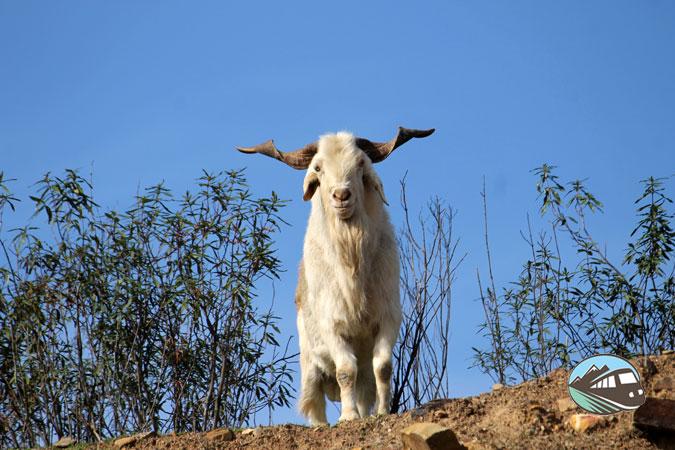 Se nos apareció el Chupacabra - Valle de Alcudia