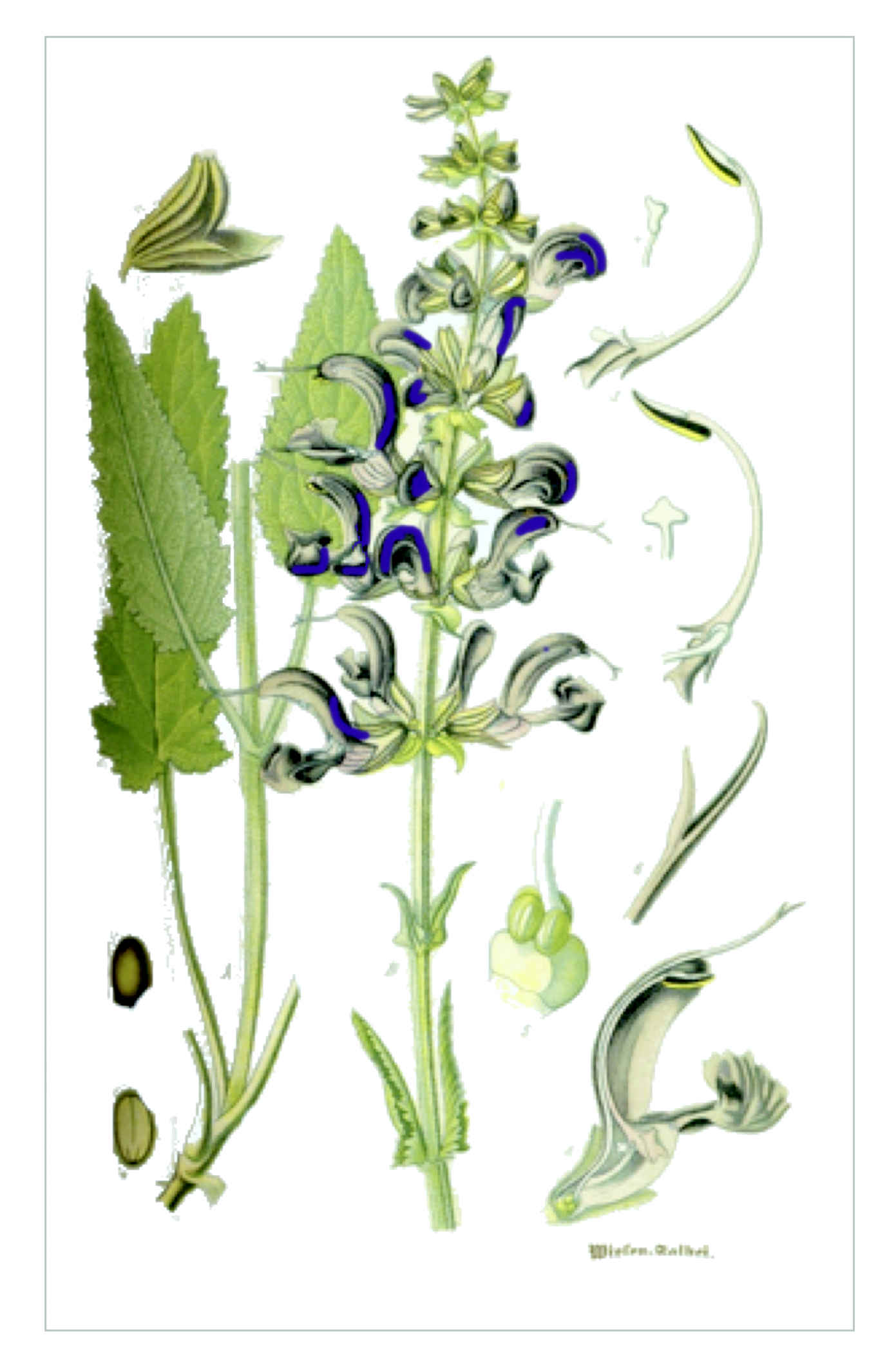 Wiesensalbei – Salvia pratensis