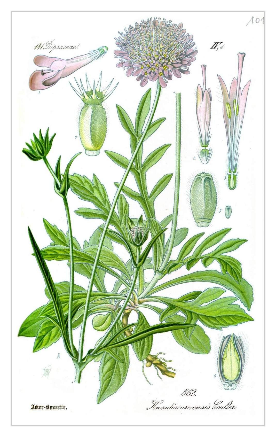 Acker-Witwenblume – Knautia arvensis