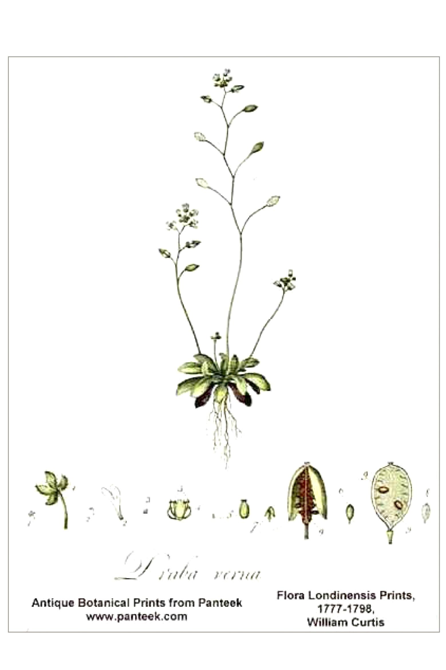 Frühlings-Hungerblümchen – Draba verna