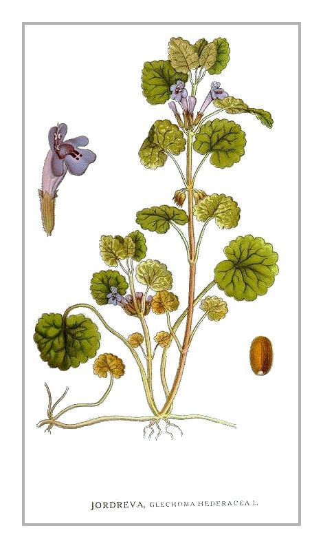 Gundelrebe – Glechoma hederacea