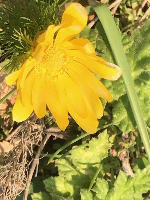 Frühlings-Adonisröschen oder Frühlings-Adonis -Adonis vernalis