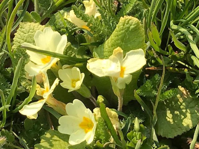 Stängellose Schlüsselblume – Primula vulgaris