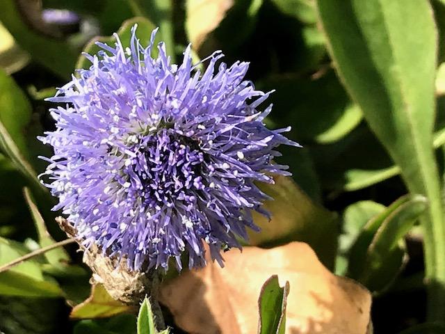 Gewöhnliche Kugelblume – Globularia vulgaris