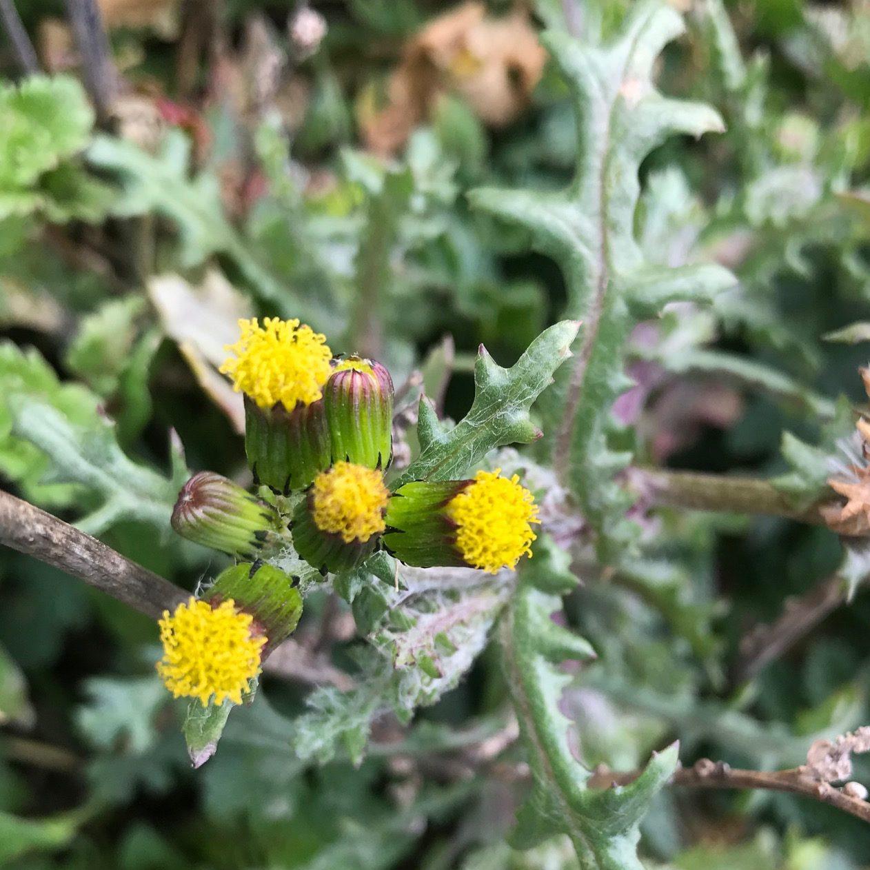 Gewöhnliche Greiskraut – Senecio vulgaris