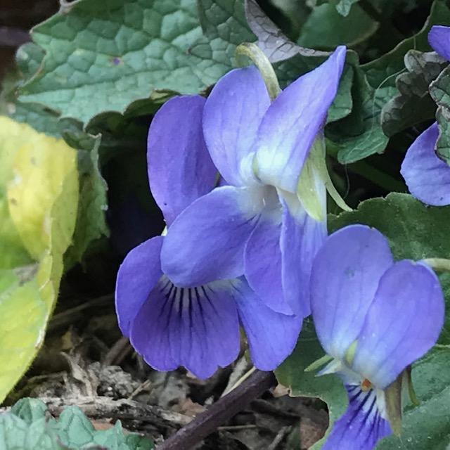 Duftveilchen – Viola odorata