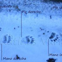 Las cuatro huellas del oso
