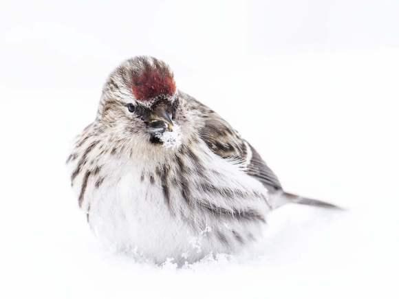 Gråsiska i snö
