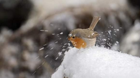 Vinterfåglar in på knuten,Rödhake sprätter snö