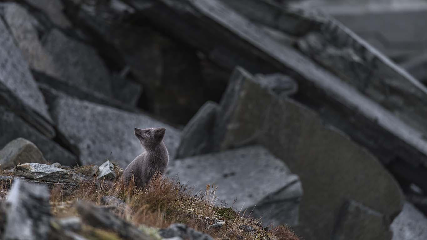Fjällräv sitter vid stenblock © Rvbild